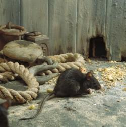 Καταπολέμηση ποντικιών