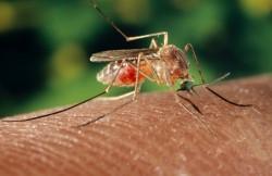 τσιμπήματα από κουνούπι
