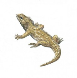 TUATARA LIZARD-ILLUSTRATION