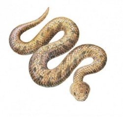 SIDEWINDER SNAKE-ILLUSTRATION