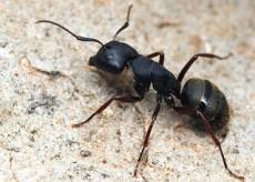 Camponotus_modoc,_worker,I_ALW27