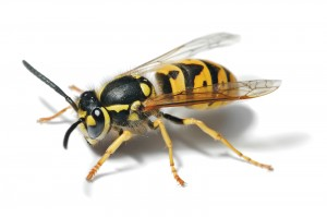 European_Wasp_-_Full_Body_Picture