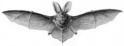 bat-graphic_haeckel_chiroptera-580x217