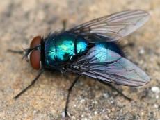 Πράσινη μύγα