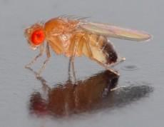 drosophila_melanogaster_-_side_aka
