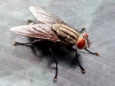 οικιακή μύγα