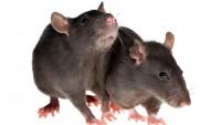 Πρόβλημα με ποντίκια