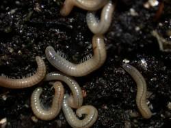 μαύρα σκουλήκια στους τοίχους στον κήπο αντιμετώπιση