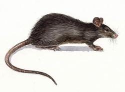 rattus-rattus-large