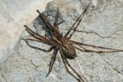 Δηλητηριώδης αράχνη