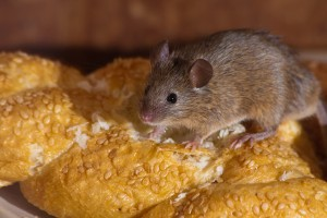 House-Mouse1_600px